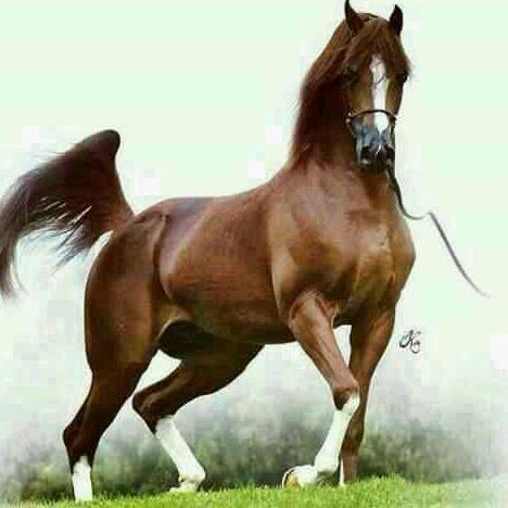 بالصور حصان عربي , افضل الخيول العربية الاصيلة 5773 2