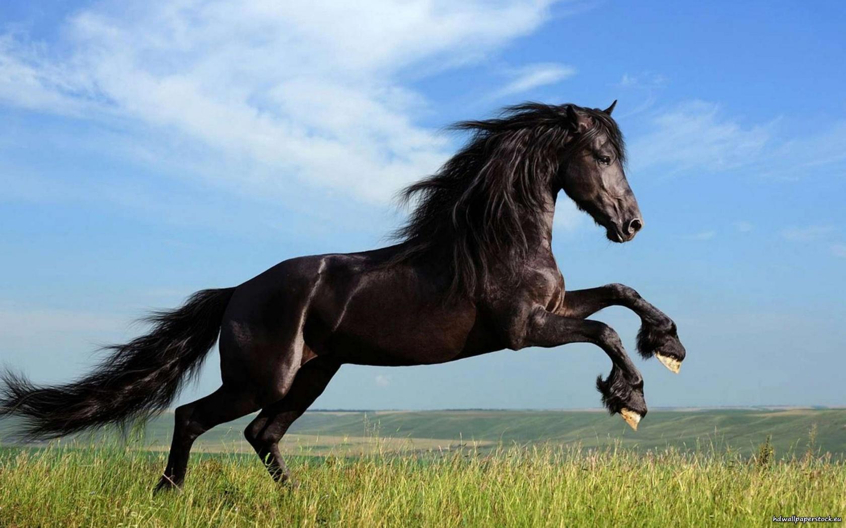 بالصور حصان عربي , افضل الخيول العربية الاصيلة 5773 3