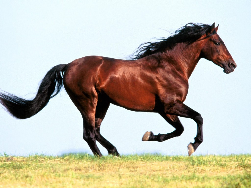بالصور حصان عربي , افضل الخيول العربية الاصيلة 5773 5