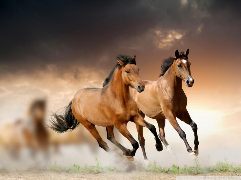 بالصور حصان عربي , افضل الخيول العربية الاصيلة 5773 6