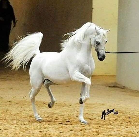 بالصور حصان عربي , افضل الخيول العربية الاصيلة 5773 7