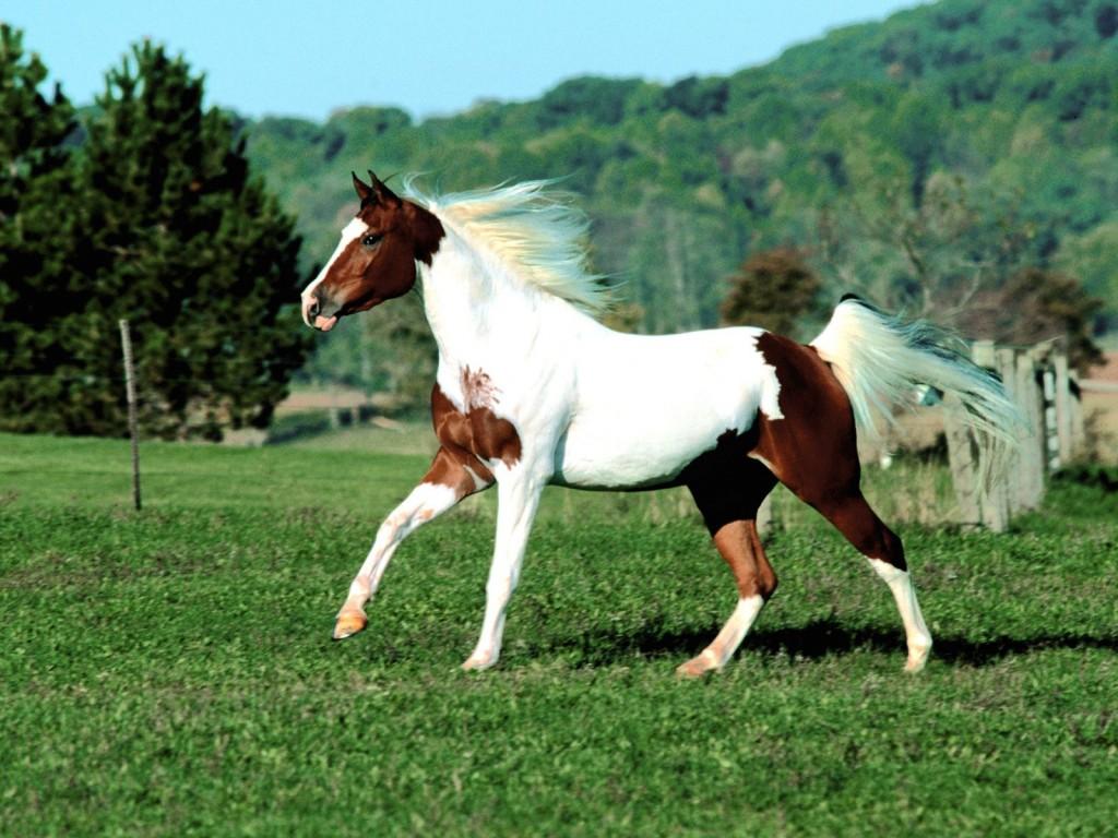 بالصور حصان عربي , افضل الخيول العربية الاصيلة 5773 8