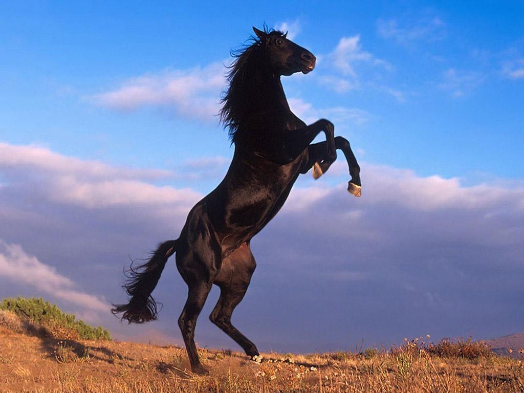بالصور حصان عربي , افضل الخيول العربية الاصيلة