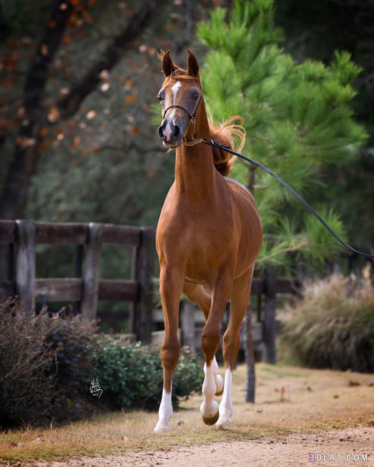 صورة حصان عربي , افضل الخيول العربية الاصيلة