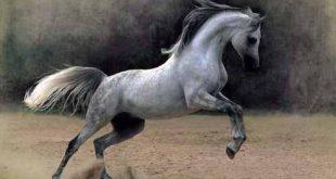 صورة خيول عربية , اجمل خيول عربية مميزة