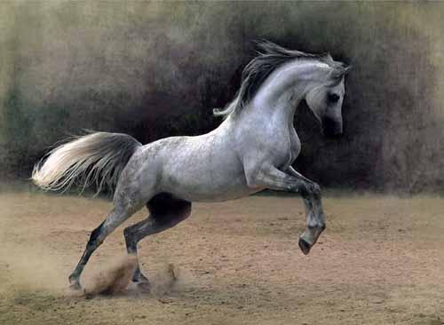صور خيول عربية , اجمل خيول عربية مميزة