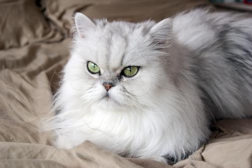 نتيجة بحث الصور عن قطط شيرازى