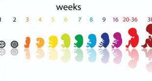 صوره حساب الحمل بالاسابيع , طريقه معرفة موعد الحمل بالاسابيع