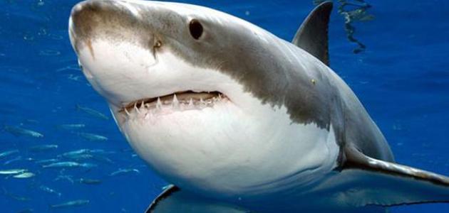 صورة صور سمك القرش , صور اسماك القرش