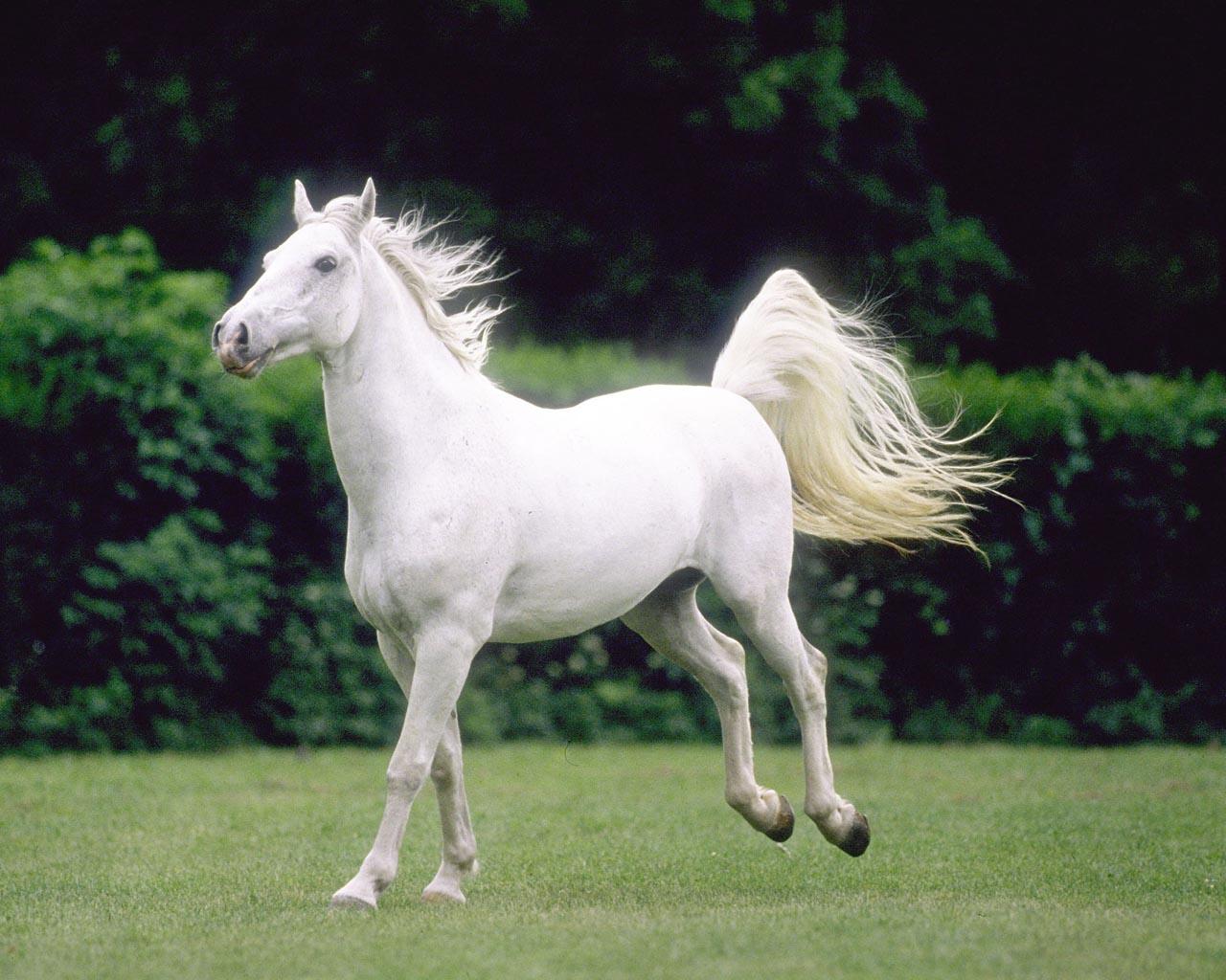 صورة خيول عربية اصيلة , جمال الخيول العربيه الاصيله