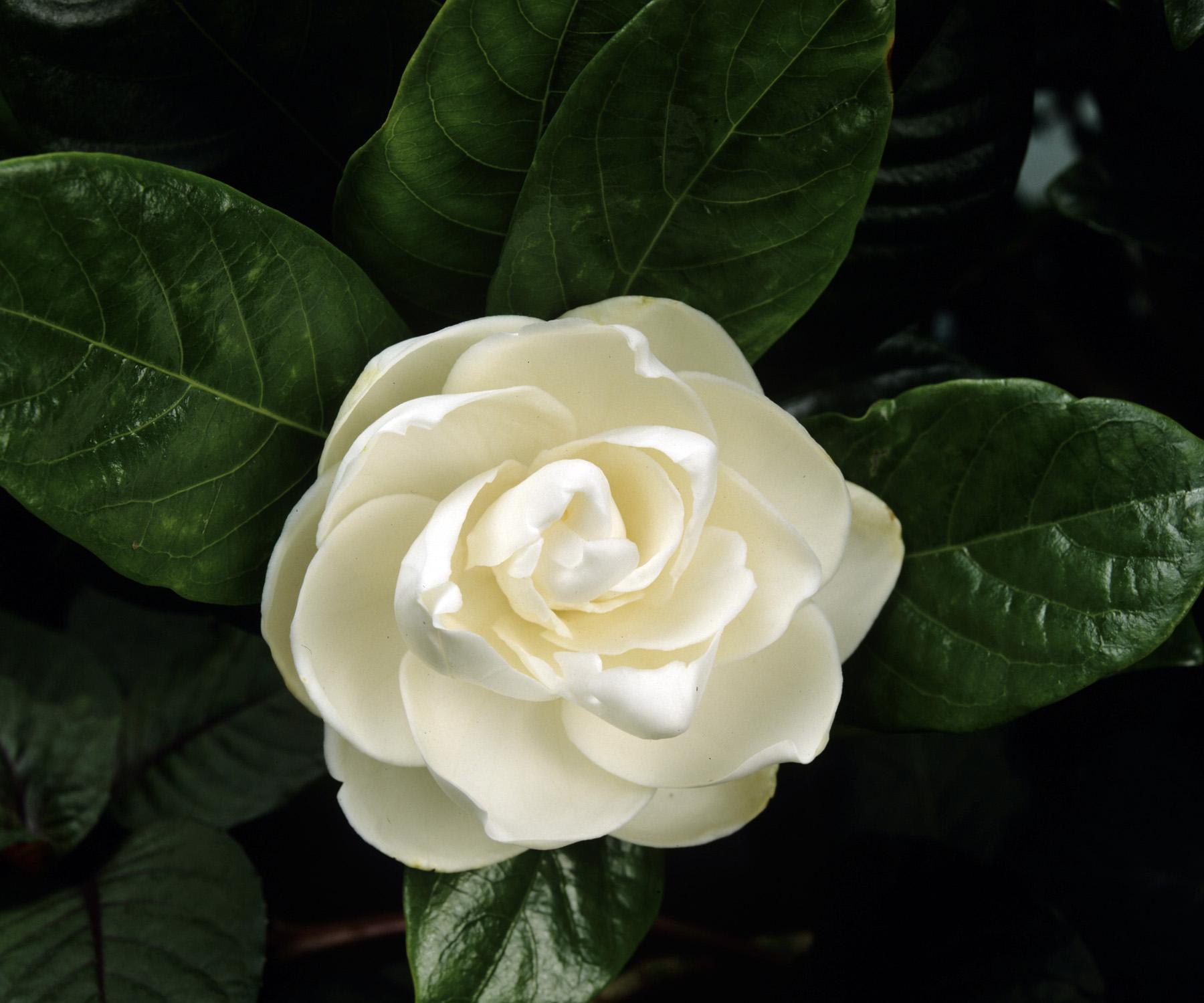 صورة صور اجمل الورود , صور ورد جميله ومميزه 2441 2