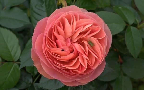 صورة صور اجمل الورود , صور ورد جميله ومميزه 2441 6