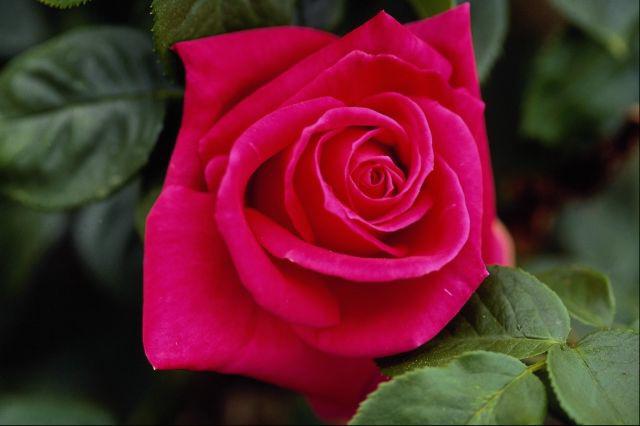 صورة صور اجمل الورود , صور ورد جميله ومميزه 2441 7