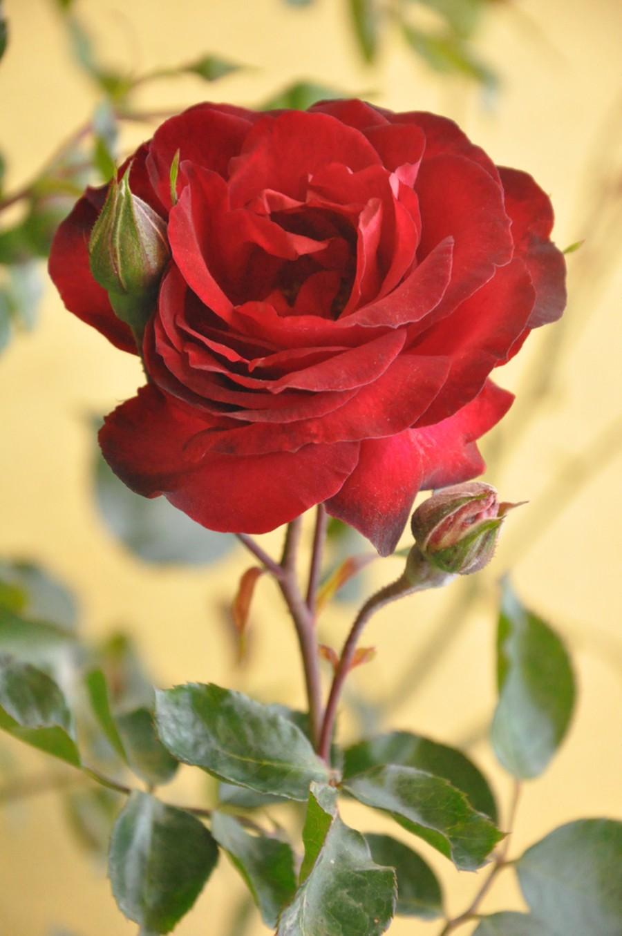 صورة صور اجمل الورود , صور ورد جميله ومميزه 2441 8