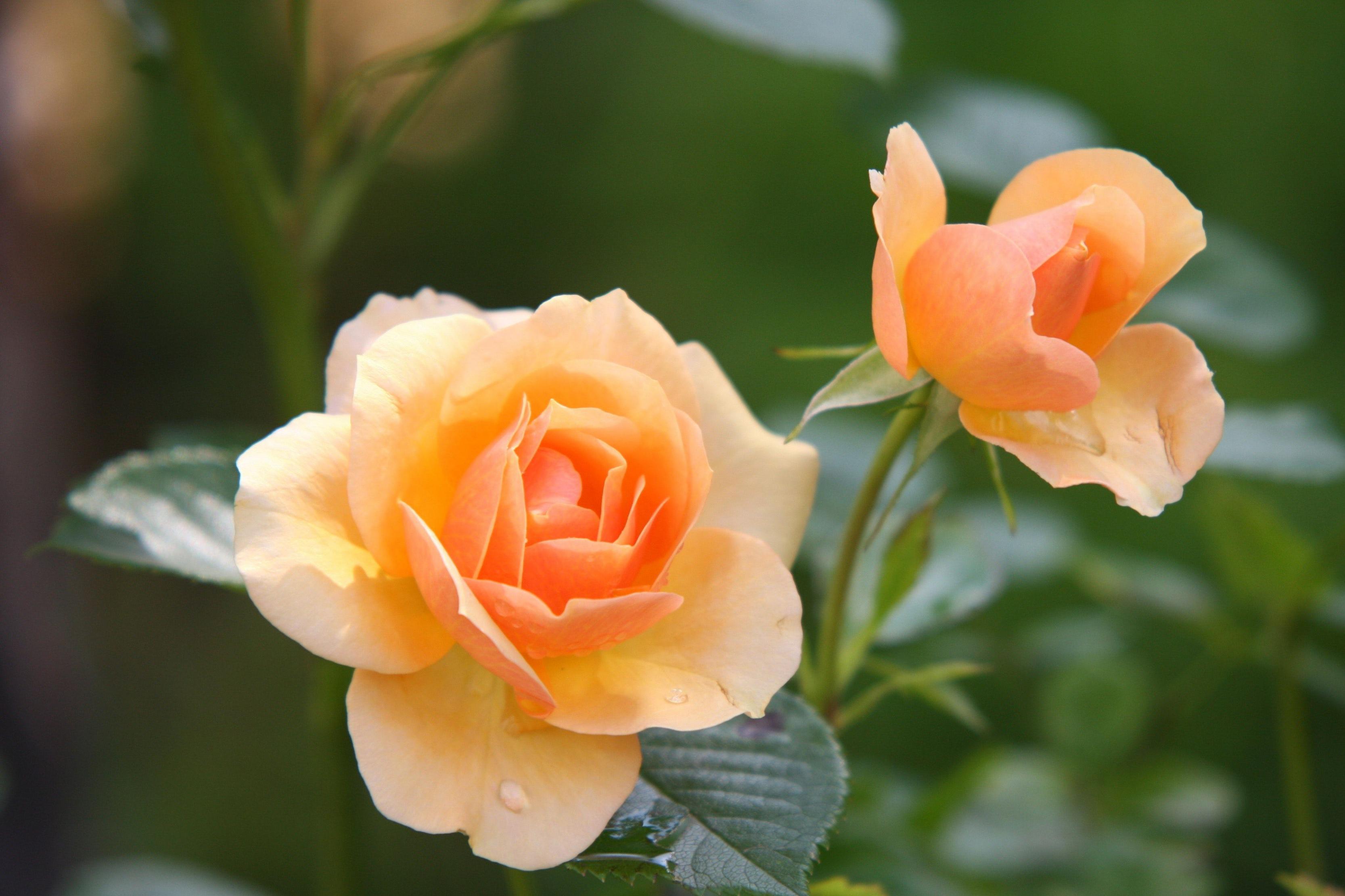 صورة صور اجمل الورود , صور ورد جميله ومميزه 2441