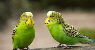 بالصور عصافير الزينة , اجمل وافضل عصافير الزينه 2689 12 310x165