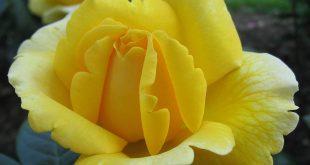 اجمل ورد , اروع الوان الورد