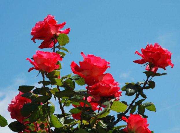صورة اجمل ورد , اروع الوان الورد 4235 7