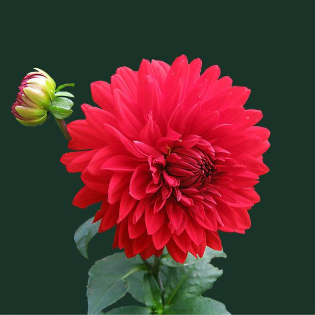 بالصور صور ورود طبيعيه , اجمل اشكال الزهور الطبيعية 4422 12