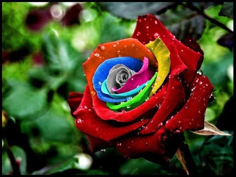 بالصور صور ورود طبيعيه , اجمل اشكال الزهور الطبيعية 4422 2