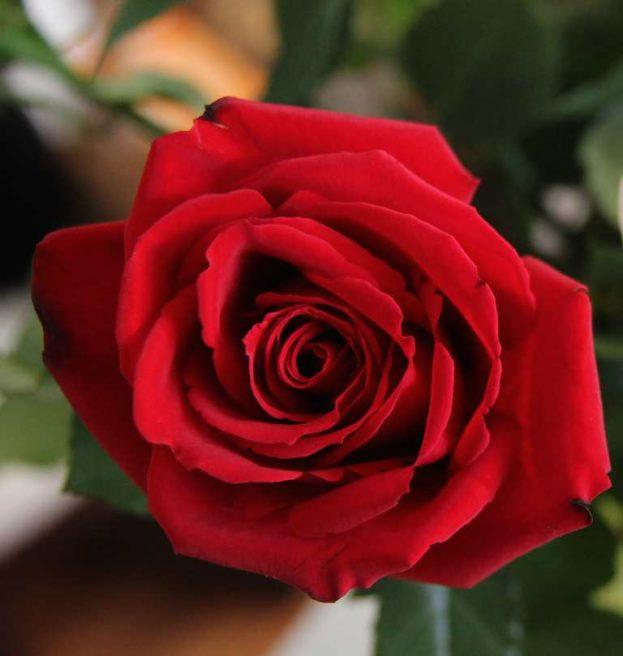 بالصور صور ورود طبيعيه , اجمل اشكال الزهور الطبيعية 4422 3