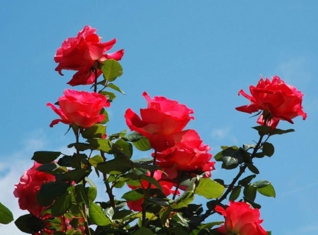 بالصور صور ورود طبيعيه , اجمل اشكال الزهور الطبيعية 4422 5