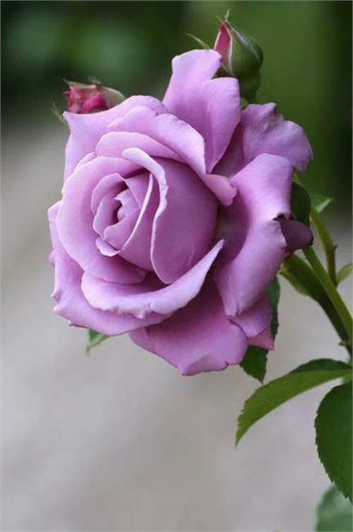 بالصور صور ورود طبيعيه , اجمل اشكال الزهور الطبيعية 4422 6