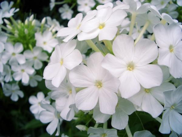 بالصور صور ورود طبيعيه , اجمل اشكال الزهور الطبيعية 4422 8