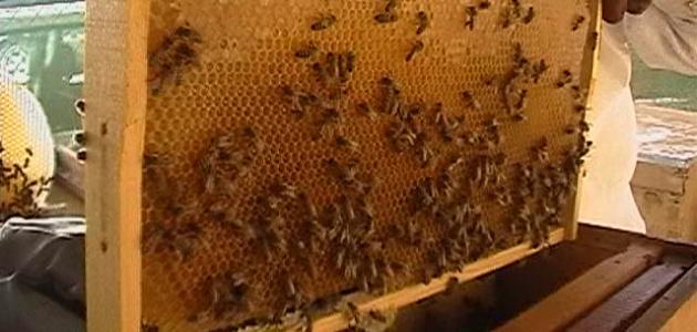 صورة تربية النحل , تعرف على تربية النحل