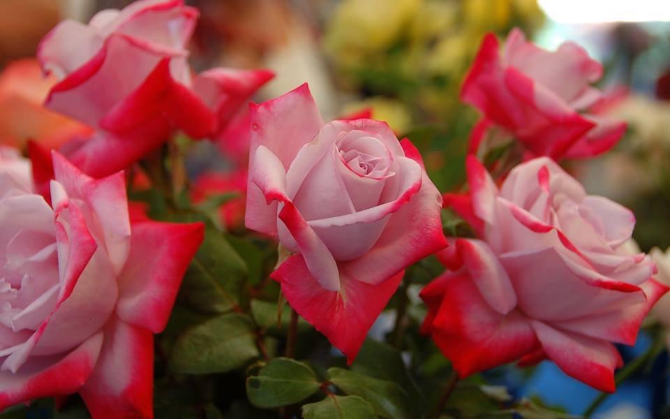 بالصور اجمل ورود العالم , صور لجمال و طبيعه الورد 247 1