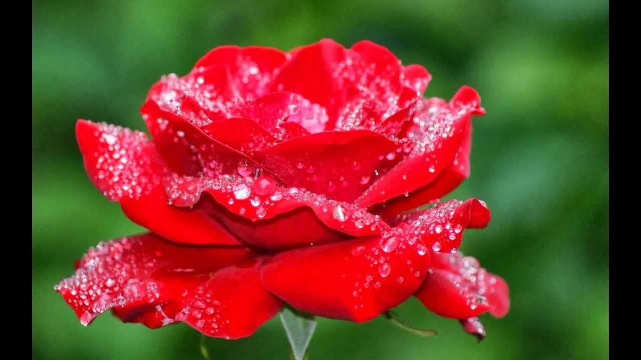 بالصور اجمل ورود العالم , صور لجمال و طبيعه الورد 247 3