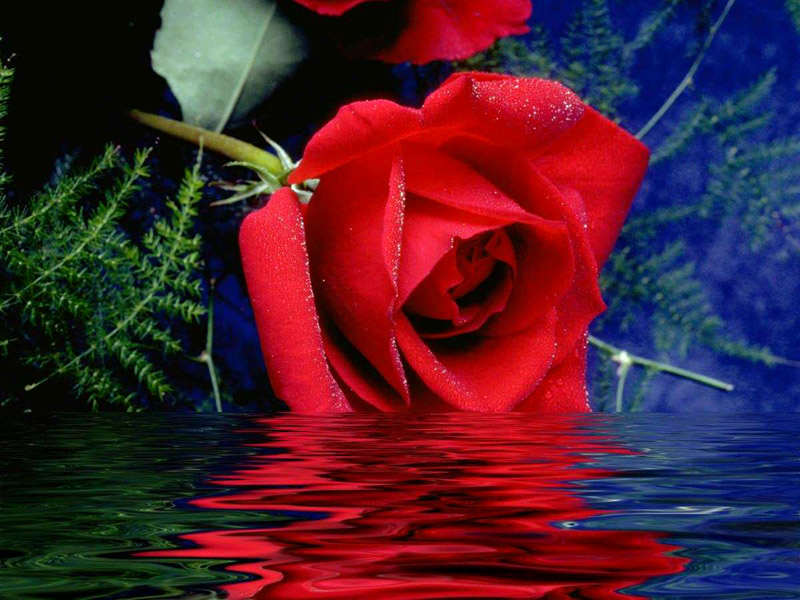 بالصور اجمل ورود العالم , صور لجمال و طبيعه الورد 247 4