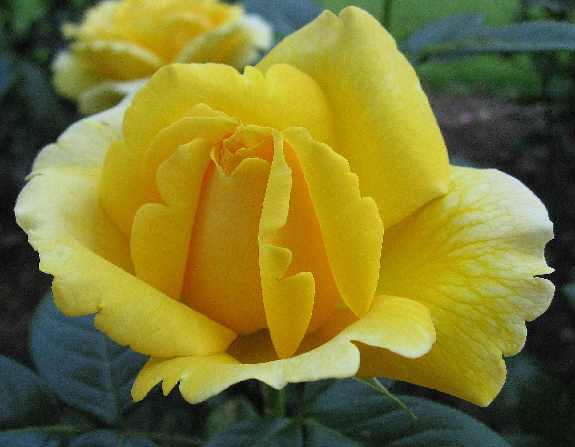 بالصور اجمل ورود العالم , صور لجمال و طبيعه الورد 247 8