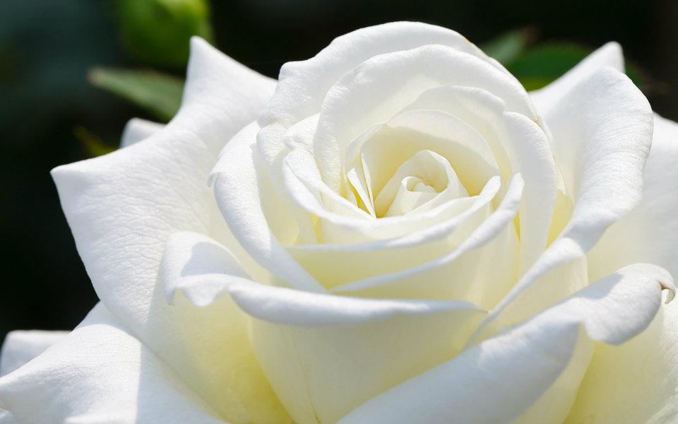 بالصور اجمل ورود العالم , صور لجمال و طبيعه الورد 247 9