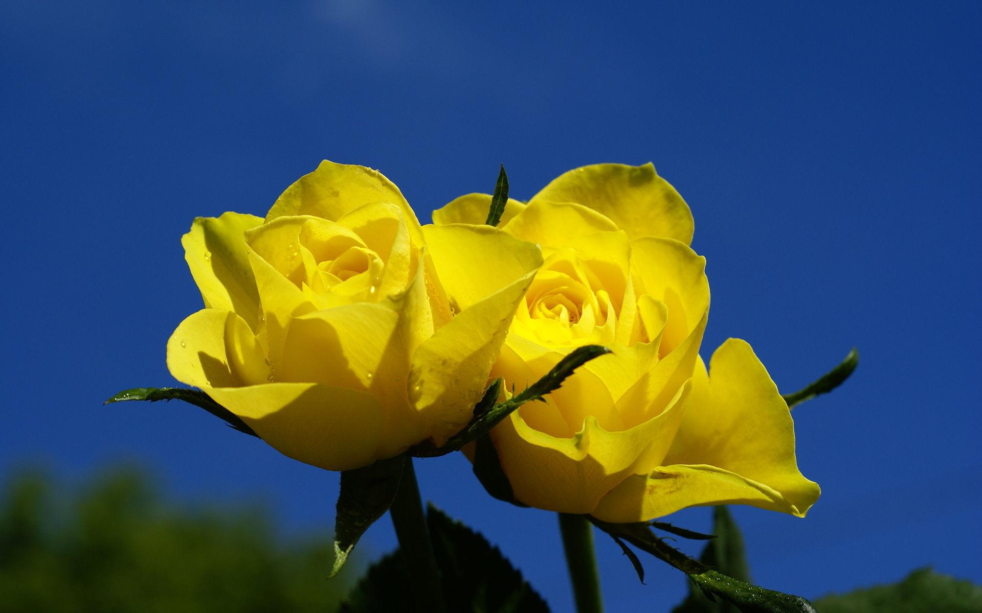 بالصور صور عن الورد , الجمال الطبيعى فى صور الورود 285 3