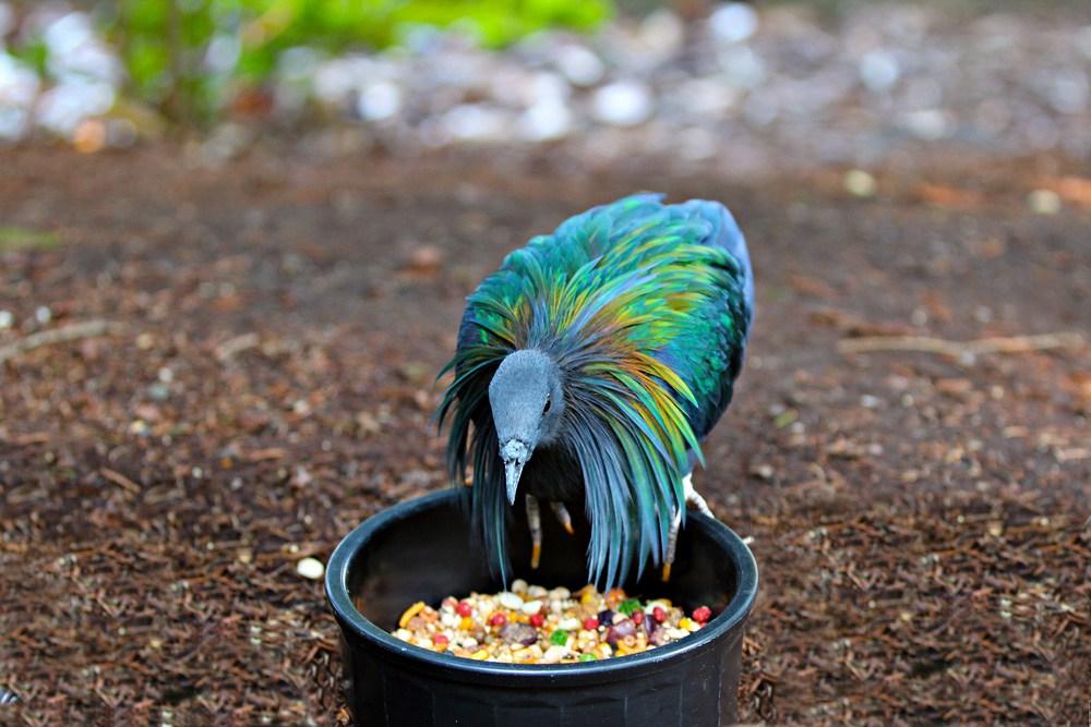 صور اجمل حمام , اجمل انواع الطيور وانضفهم فى التربية