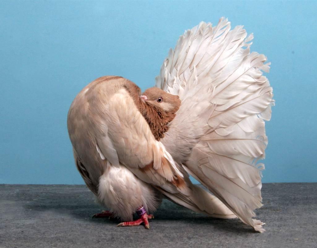 بالصور اجمل حمام , اجمل انواع الطيور وانضفهم فى التربية 302 3
