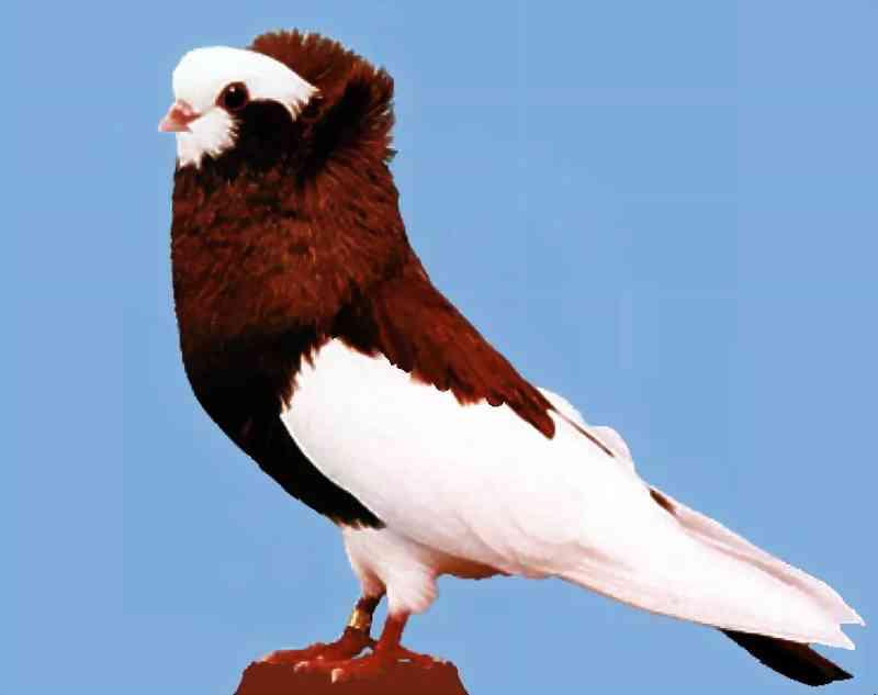 بالصور اجمل حمام , اجمل انواع الطيور وانضفهم فى التربية 302 4