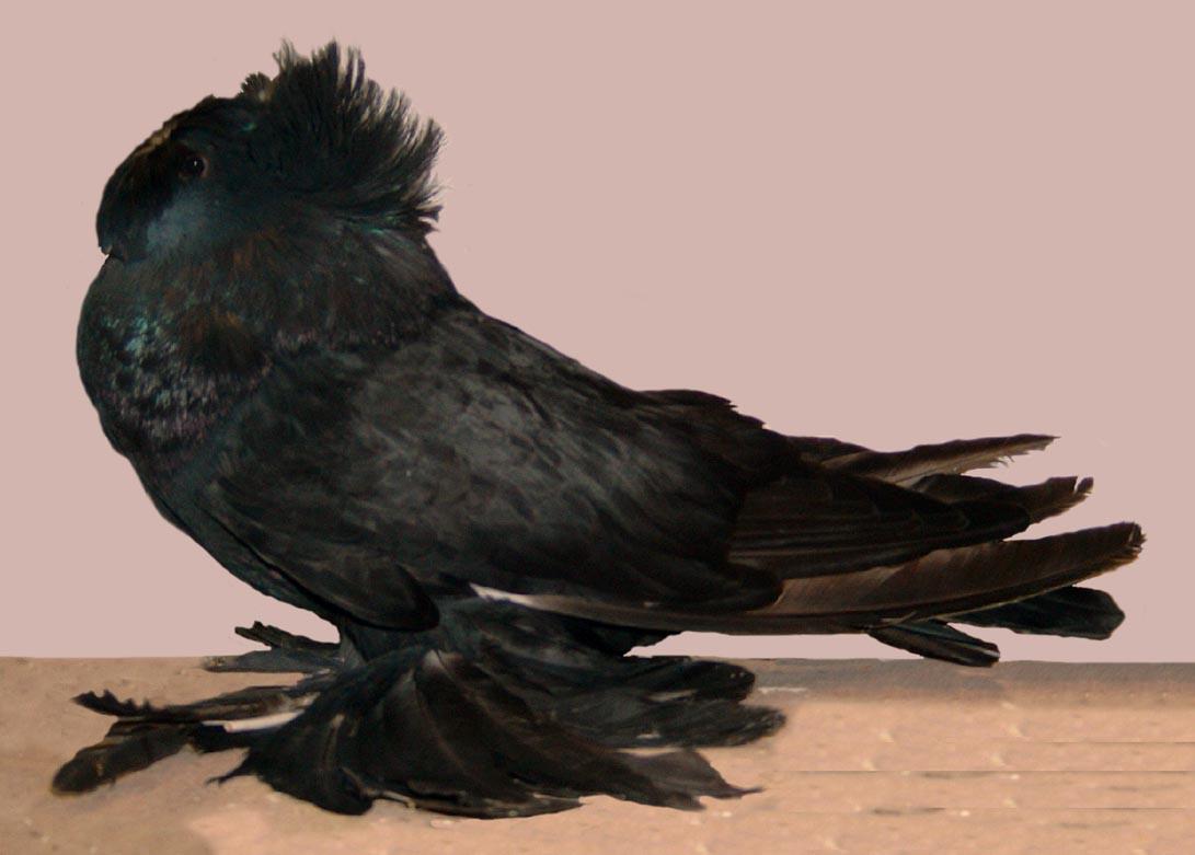 بالصور اجمل حمام , اجمل انواع الطيور وانضفهم فى التربية 302 5