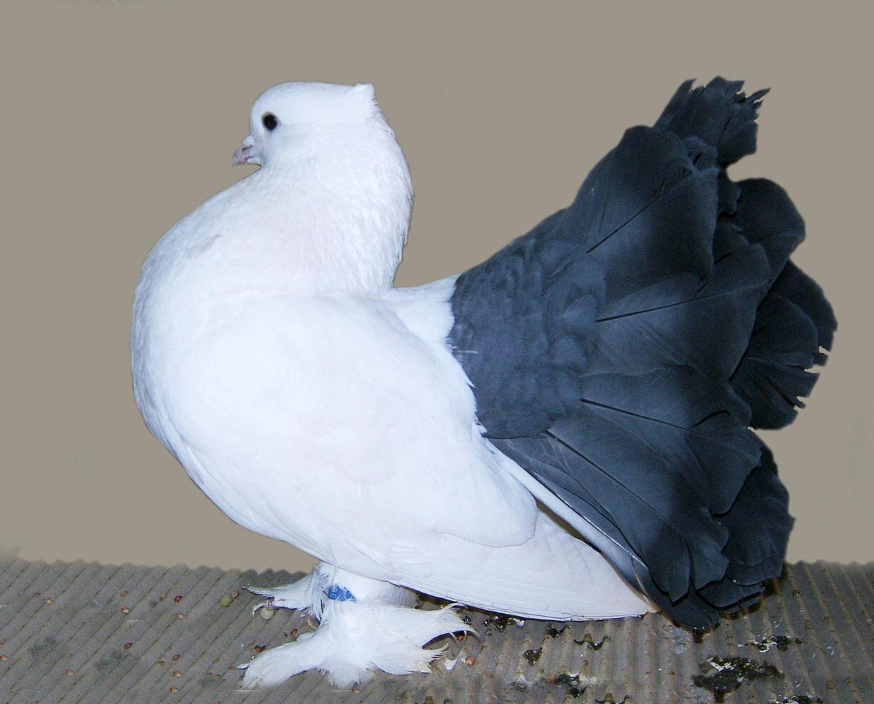 بالصور اجمل حمام , اجمل انواع الطيور وانضفهم فى التربية 302 6