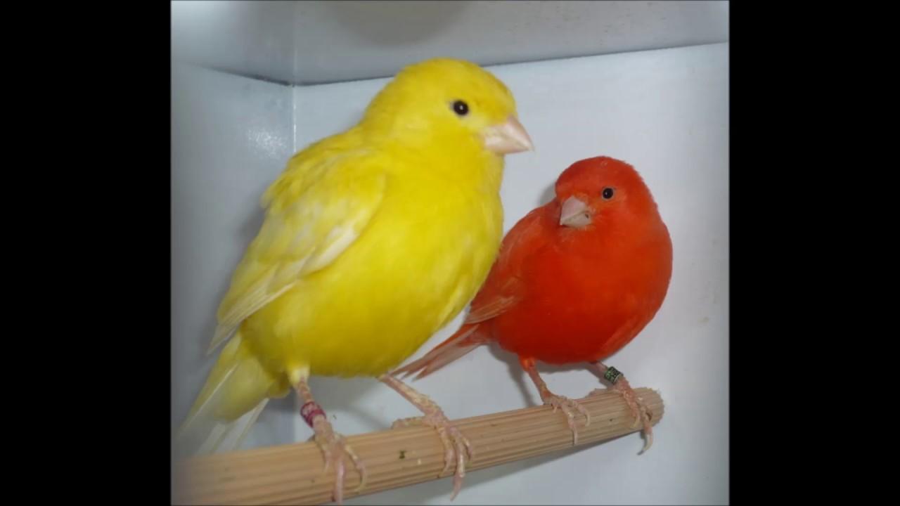 بالصور صوت عصافير كنارى , اجمل الطيور والصوت العزب 373 1