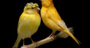 صوت عصافير كنارى , اجمل الطيور والصوت العزب