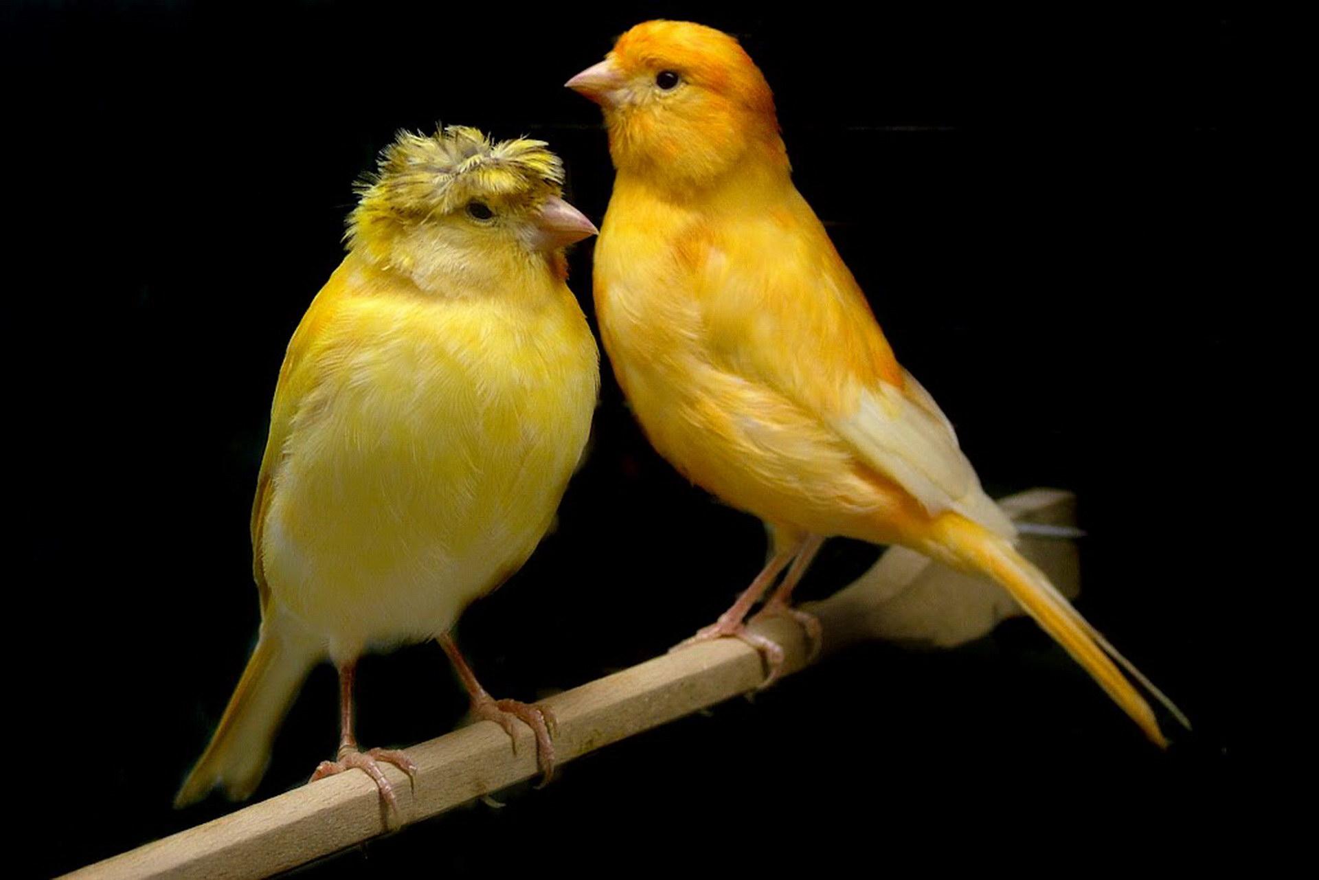 بالصور صوت عصافير كنارى , اجمل الطيور والصوت العزب 373