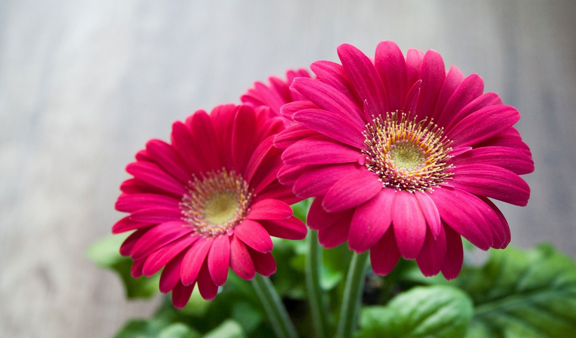 بالصور صور ورد خلفيات , فنون اختيار الخلفيات الطبيعيه و الورود 636 9