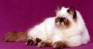 صوره قطط هملايا , اجمل الحيوانات الاليفة