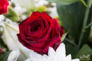 بالصور صور احلى ورد , اجمل الزهور المتنوعه 3936 1.jpeg 310x205