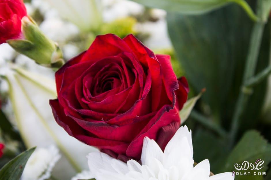 بالصور صور احلى ورد , اجمل الزهور المتنوعه