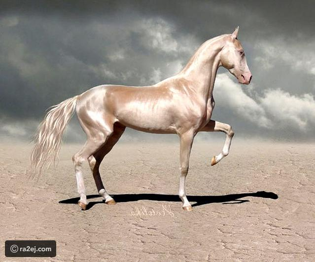بالصور اجمل حصان في العالم , صور احلى الخيول فى العالم 5552 2