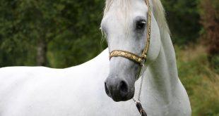 بالصور اجمل خيول في العالم , صور احلى الخيول 3965 10 310x165