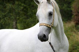 بالصور اجمل خيول في العالم , صور احلى الخيول 3965 10 310x205